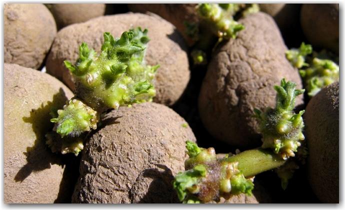 Процесс проращивания клубней картофеля – шаг за шагом