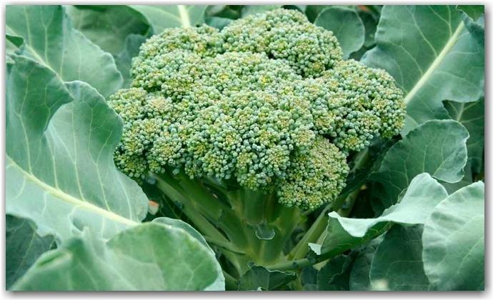 Брокколи – свойства и сорта капусты