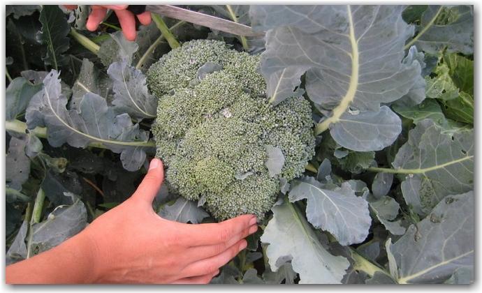 Как правильно собирать урожай брокколи?
