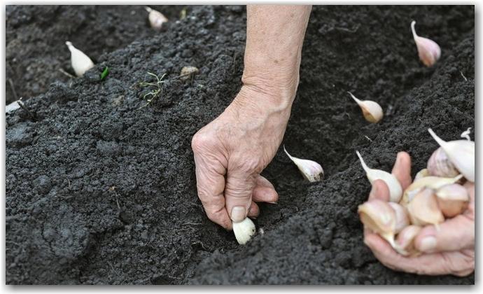 Озимый чеснок и особенности его посадки