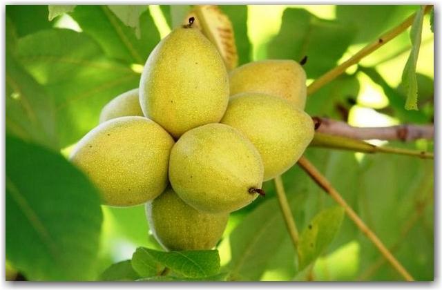 Полезные свойства маньчжурского ореха