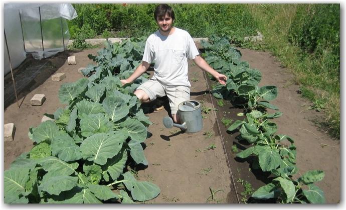 Правильный уход за брокколи – как вырастить здоровую капусту?